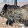 Stimulente pentru informații despre porci morți de pestă
