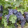 Cea mai slabă producție de vin în 100 de ani
