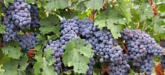 Ajutor comunitar pentru alcoolul din vin