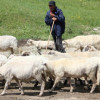2 lei/kg pentru comercializarea lânii