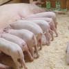 Pesta porcină africană scindează bagă zâzanie între crescători
