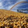Politicile UE afectează producția de porumb