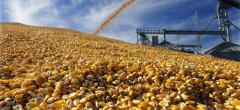 Producția de porumb a Europei: 62,7 milioane tone