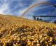 Producția de porumb a României în 2018: 18,6 milioane tone