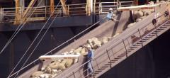 Exportul de animale vii, la mâna ONG-urilor și a Parlamentului European