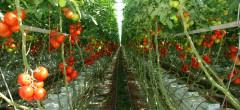 Fermierii au primit 200 milioane lei pentru creşterea tomatelor