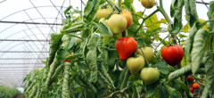 România curată. Un singur caz de legume cu pestidice peste limită într-un an