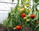 Programul Tomata varianta 2020