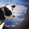 Vaci transportate cu avionul