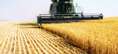 Seceta aproape a înjumătățit producția de grâu