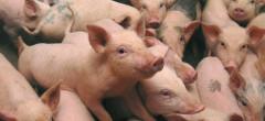 Pesta porcină africană la început de decembrie