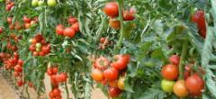 Legumicultorii fac presiuni pentru subvenție integrală în Programul Tomata