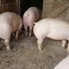 Populația va putea crește porci în continuare în ogradă