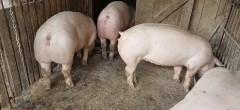 Ordin pentru clasificarea porcilor în cocină