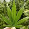 Georgia va cultiva marijuana medicinală