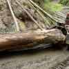 Agent Green: Romsilva este vinovată de tăierile de lemn din parcuri