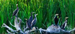Răzbunarea lui Daea. Scandalul cormoranilor s-a mutat în Italia