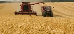 Recoltă de grâu la jumătate față de anul trecut