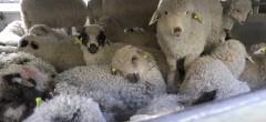 Campioni la efectivele de oi şi capre