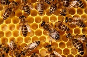 albine miere